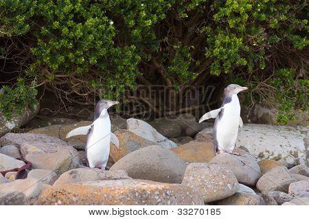 Juvenile NZ Yellow-eyed Penguins or Hoiho on shore