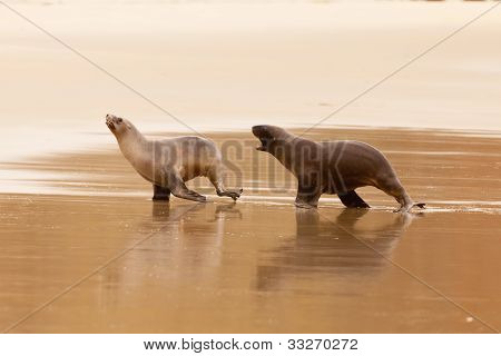 Male Hookers sealion chasing female in courtship