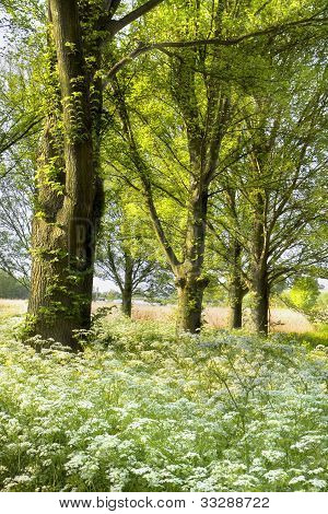 Trees And Blooming Cow Parsley In Spring