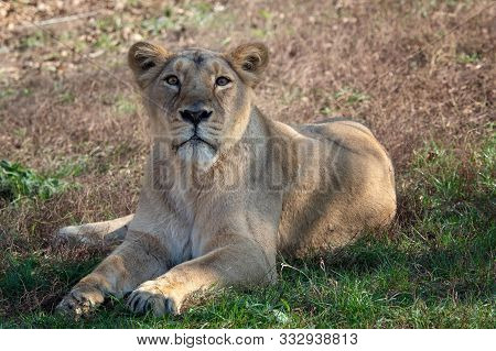 poster of Asiatic Lioness (panthera Leo Persica). A Critically Endangered Species.