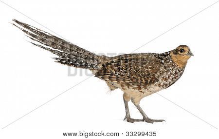 Portrait of Female Reeves's Pheasant, Syrmaticus reevesii, can grow up to 210 cm long, in front of white background
