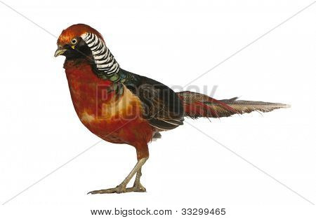 Male Golden Pheasant or 'Chinese Pheasant', Chrysolophus pictus, standing in front of white background