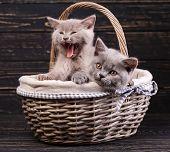 Scottish Straight Kittens.purebred Kittens At The Photo Studio poster