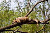 foto of coatimundi  - South American coati or ring - JPG