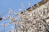 White Cherry Blossom And Building In Background. Flowering Fruit Trees. Blossoming Apricot Against T poster