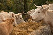 Cows In The Pasture. White Cattle Living Outdoors In Nature. Meat Breed. Cows Eat Straw. poster