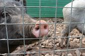 Black Cute Pigs With A Pink Snout Nose Behind The Metal Mesh Fence In The Country Farm poster