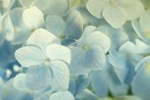 Beautiful blue hydrangea background