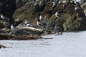 Seal (spotted Seal, Largha Seal, Phoca Largha) Laying On The Rock In Sea On Blurred Background Of Se poster