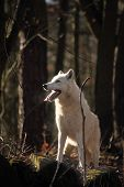An Arctic Wolf (canis Lupus Arctos) Staying In Dry Grass In Front Of The Forest. Calm White And Beau poster
