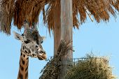 Rothschild Giraffe At Enclosure In Zoo On Sunny Day poster