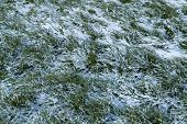 Texture Of Green Grass On A Snow Covered Lawn. The First Snow On The Green Grass, Autumn, Winter, Sp poster