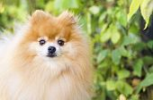 Portrait Of Small Fluffy Ginger Pomeranian German Spitz On Natural Autumn Background. Clever Dog. Tr poster