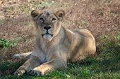 Asiatic Lioness (panthera Leo Persica). A Critically Endangered Species. poster
