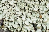 Moss And Lichen Grow On A Stone. Macro. Background Of Lichen Moss Stone. No Focus. poster