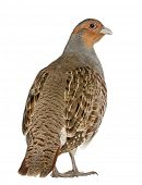 foto of hungarian partridge  - Portrait of Grey Partridge - JPG