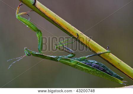 Wild Side  Praying Mantis Mantodea