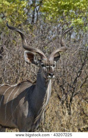 Looking Kudu