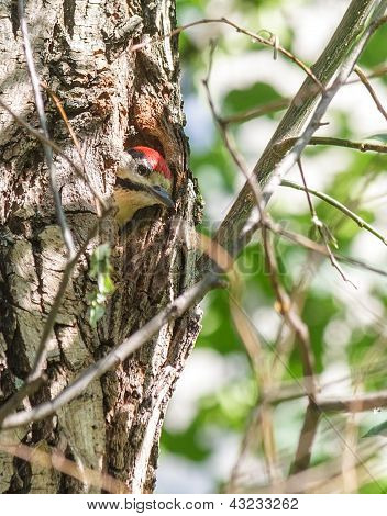 Woodpecker Nestling In A Hollow Of A Tree Trunk