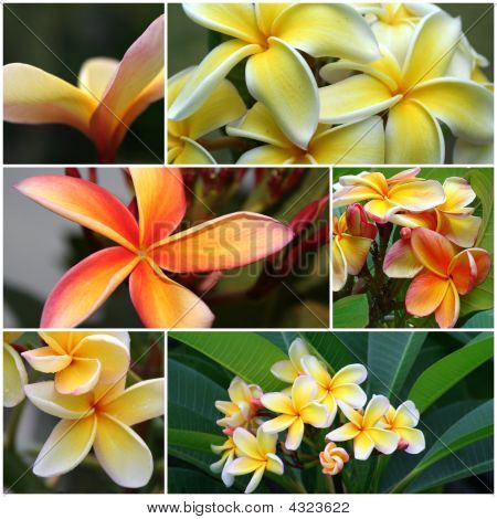 Yellow  Orange Frangipani Montage