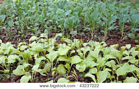 organic vegetables growing