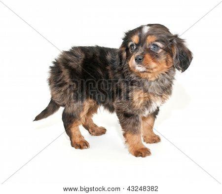 Merle Puppy