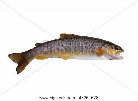Fresh Stream Trout