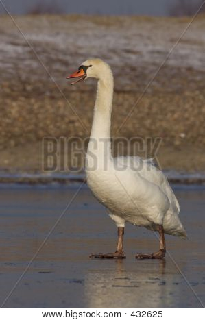 Mute Swan Standing On Ice.