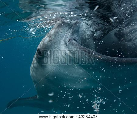 Close up shoot of gigantic whale shark (Rhincodon typus) feeding near surface