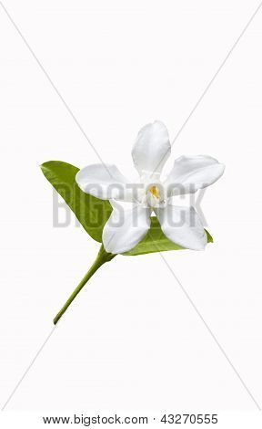Beautiful White Flower With Leaf