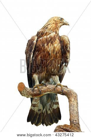 Taxidermy Mount Of An Eagle
