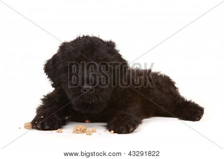 Black Russian Terrier Puppy on White Background