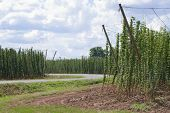 stock photo of bine  - a hop garden with a road in the summer - JPG