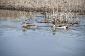 foto of pintail  - Pair of Pintail Ducks moving along the waters edge - JPG