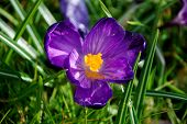 Closeup Of A Purple Crocus Bloom In The Grass