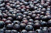 Blueberry Galore
