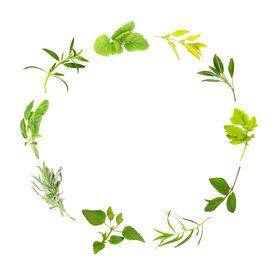 foto of feverfew  - Herb Leaf circle of lemon balm golden marjoram sage feverfew mint tarragon bergamot lavender variegated sage hyssop over white background - JPG