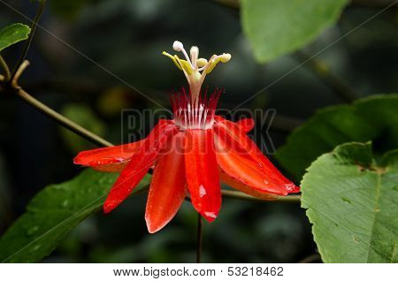 Passiflora(Mary Jane)