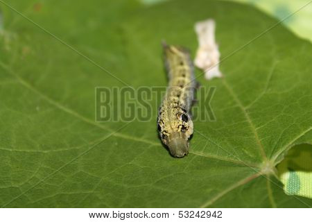 deilephila elpenor caterpillar