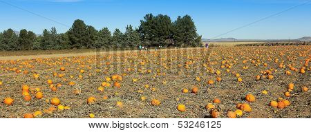 A Huge Patch Full Of Fall Pumpkins