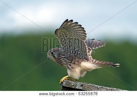 Kestrel, The Juvenile, Ready To Take Off