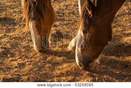 Droght Feeding Horses
