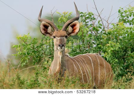 Immature male Kudu antelope (Tragelaphus strepsiceros), Kruger National Park, South Africa