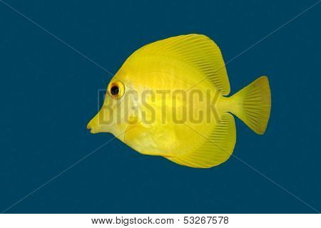 Yellow Tang (Zebrasoma flavescens) isolated on a blue background
