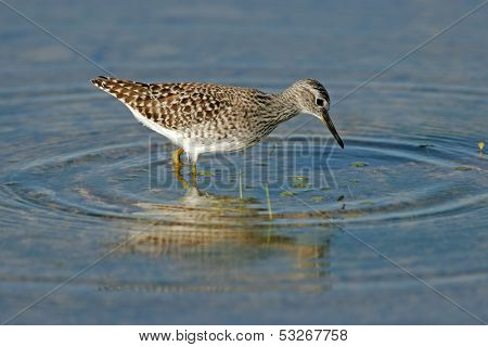 A Ruff (Philomachus pugnax) foraging in water, Etosha National Park, Namibia