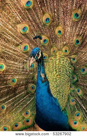 Colorful male peacock (Pavo cristatus) displaying