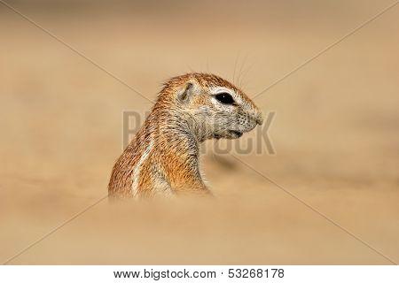 Desert dwelling ground squirrel (Xerus inaurus), Kalahari, South Africa