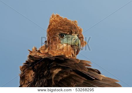 Portrait of a young, immature Bateleur (Terathopius ecaudatus) , Kalahari, South Africa