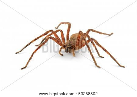 A hairy African rain spider (Palystes spp.) on white