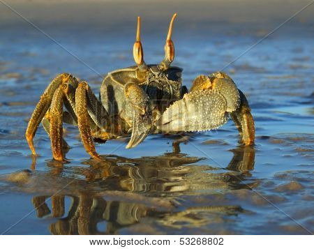 Ghost crab (Ocypode spp.) on the beach, Mozambique, southern Africa